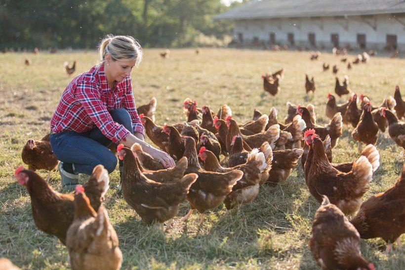 élevage de poulet LaProvincia