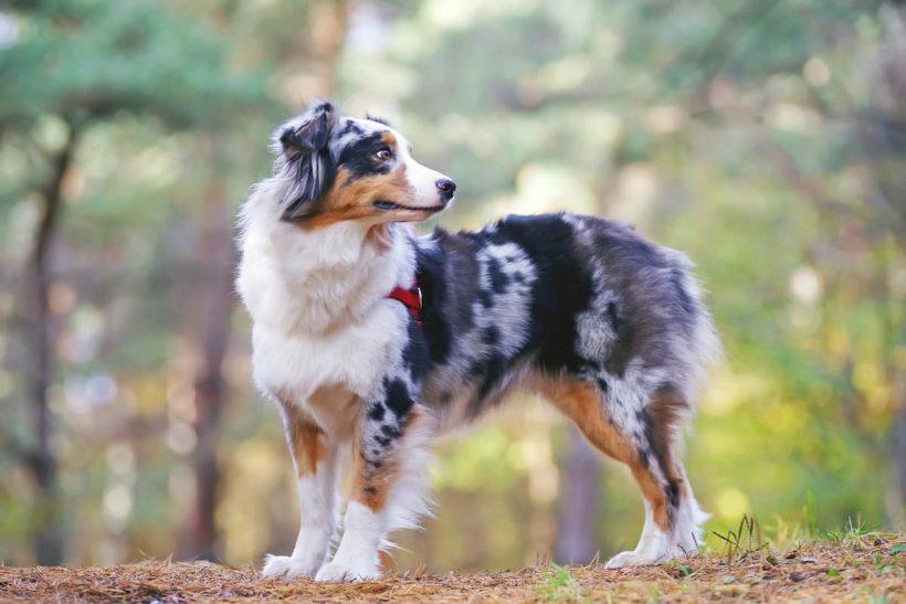 L'intérêt de souscrire un chien de race auprès d'une mutuelle